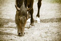Closeup of majestic graceful brown horse Royalty Free Stock Image