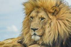 Closeup of a majestic young brown lion during a South African Safari. In a nature reserve royalty free stock image