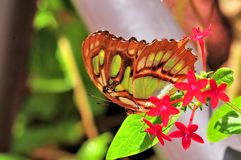 Closeup of Malachite butterfly (underside) in aviary Royalty Free Stock Images