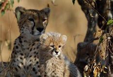 Closeup of Malaika and her beautiful cub resting in a bush Stock Photos