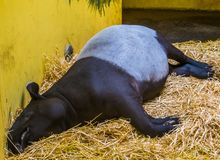 Closeup of a malayan tapir sleeping in a bed of hay, Endangered animal specie from Asia. A closeup of a malayan tapir sleeping in a bed of hay, Endangered animal stock images