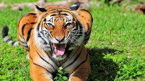 Closeup of a Malayan Tiger Stock Photography