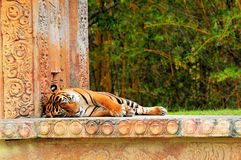 Closeup of a Malayan tiger sleeping Royalty Free Stock Photo