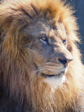 Closeup of a Male African Lion Stock Photography