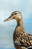 Closeup of a male black duck Stock Photography