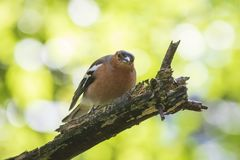 Closeup of a male chaffinch, Fringilla coelebs, singing on a tre. E in a green forest. Spring colors are clearly visible Royalty Free Stock Photos