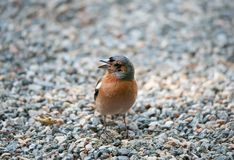 Closeup of a male chaffinch stock image