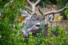 Male deer behind railings. Closeup of Male deer head behind railings Stock Photography