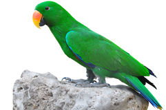Closeup Male eclectus Stock Images