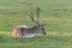 Closeup of an male fallow deer Stock Image