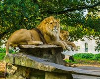 Closeup of a male and female lion together on a rock, lion couple, Wild cats from Africa, animal specie with a vulnerable status. A Closeup of a male and female royalty free stock photo
