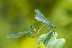 Heart shaped mating wheel by a male and female small red-eyed damselfly Erythromma viridulum. Closeup of a male and female small red-eyed damselfly Erythromma royalty free stock images