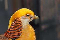 Closeup of a male golden pheasant Stock Images