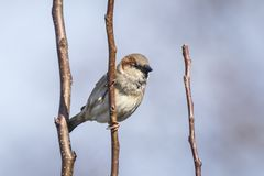 Closeup of a male House Sparrow bird passer domesticus foragin. G in a hedge Stock Photography