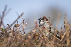 Closeup of a male House Sparrow bird passer domesticus foragin. G in a hedge Stock Photo