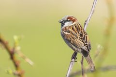 Closeup of a male House Sparrow bird passer domesticus foragin. G in a hedge Royalty Free Stock Photography