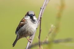 Closeup of a male House Sparrow bird passer domesticus foragin. G in a hedge Stock Image