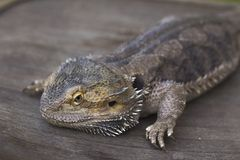 Closeup of a male iguana Royalty Free Stock Photo
