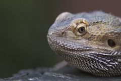 Closeup of a male iguana Stock Photo