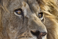 Closeup of male lion Stock Photos