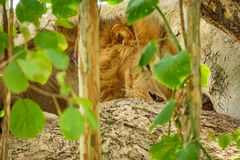 Closeup of male Lion hidden on a tree branch Stock Image