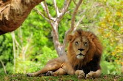 Closeup of male lion (Panthera leo) resting in zoo Royalty Free Stock Photo
