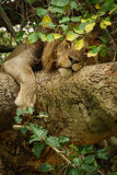 Closeup of male Lion on a tree. Detailed view of Lion on a tree with green leafs Royalty Free Stock Image