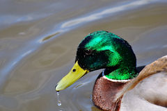 Closeup of a male mallard. Vancouver, canada Stock Images