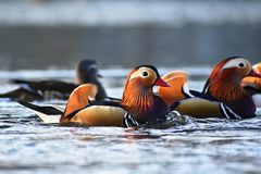 Closeup male mandarin duck Aix galericulata swimming on the water with reflection. A beautiful bird living in the wild. Closeup male mandarin duck Aix Stock Photos