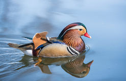 Closeup male mandarin duck Aix galericulata. Closeup male mandarin duck on water Stock Image