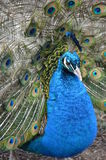 Closeup of Male Peacock. Peafowl male displaying Royalty Free Stock Image