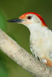 Closeup of Male Red bellied Woodpecker Stock Photo