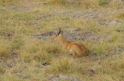 Closeup of a male Reedbuck. Closeup of male Reedbuck scientific name: Redunca redunca, or `Tohe ndope` in Swaheli image taken on Safari located in the Serengeti/ Stock Photo