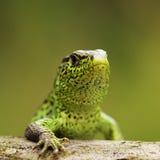 Closeup of male sand lizard Royalty Free Stock Photo