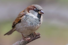 Closeup of a male sparrow in breeding plumage. Closeup image of a male house sparrow (Passer domesticus) in breeding plumage perching on dry twig in late autumn Stock Photo