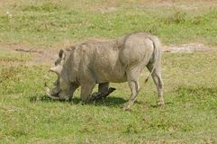 Closeup of male Warthog in Ngorongoro. Closeup of male Warthog in the typical kneeling stance while feeding  Phacochoerus aethiopicus, or `Ngiri` in Swaheli in Royalty Free Stock Images