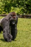 Western Lowland Gorilla Walking in Grass Closeup on Sunny Day. Closeup of a male Western Lowland Gorilla walking in grass on a sunny day Stock Image