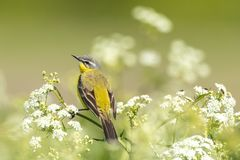 Closeup of a male western yellow wagtail bird Motacilla flava. Singing in wild masterwort Aegopodium podagraria on a sunny day during spring season Royalty Free Stock Image