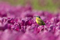 Closeup of a male western yellow wagtail bird Motacilla flava. Singing in a meadow or field with colorful yellow and purple tulips blooming on a sunny day Royalty Free Stock Photography