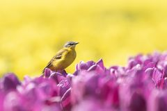 Closeup of a male western yellow wagtail bird Motacilla flava. Singing in a meadow or field with colorful yellow and purple tulips blooming on a sunny day Royalty Free Stock Photos