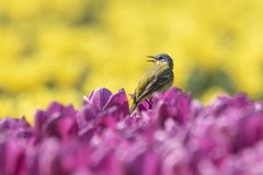 Closeup of a male western yellow wagtail bird Motacilla flava. Singing in a meadow or field with colorful yellow and purple tulips blooming on a sunny day Royalty Free Stock Image