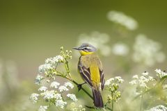 Closeup of a male western yellow wagtail bird Motacilla flava. Singing in wild masterwort Aegopodium podagraria on a sunny day during spring season Royalty Free Stock Photo