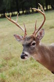 Closeup male white tailed deer. Closeup of male white tailed deer Royalty Free Stock Photo
