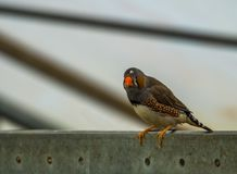 Closeup of a male zebra finch sitting on a metal beam in the aviary, tropical bird from Australia stock images