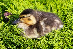 Closeup of a Mallard duckling sitting in a green juniper.  Stock Image