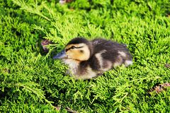 Closeup of a Mallard duckling sitting in a green juniper.  Royalty Free Stock Photos