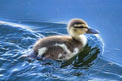 Closeup of a Mallard duckling swimming in reflective water.  Stock Image