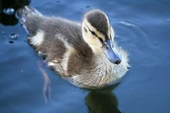 Closeup of a Mallard duckling swimming in reflective water.  Stock Images