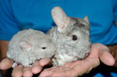 Closeup Mama and Baby beige Chinchilla. Closeup Mama and Baby Chinchilla on hands Royalty Free Stock Photo