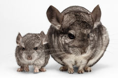 Closeup Mama and Baby Chinchilla in Front View on white Royalty Free Stock Images